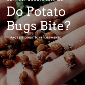 Do Potato Bugs Bite? Here Everything You Need To Know About Potato Bug