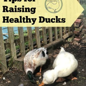 Tips for Raising Healthy Ducks