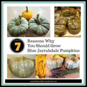7 Reasons Why You Should Grow Blue Jarrahdale Pumpkins